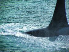 Orcas in Strait of Juan de Fuca 3