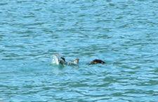 Splashing otter in Strait of Juan de Fuca 1