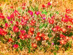 Ice-Plants-at-Cabrillo-National-Monument-1-250x188.jpg