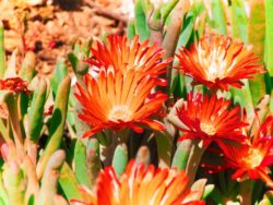 Ice-Plants-at-Cabrillo-National-Monument-2-250x188.jpg