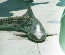 Leopard Shark caught on Manhattan Beach Pier 1