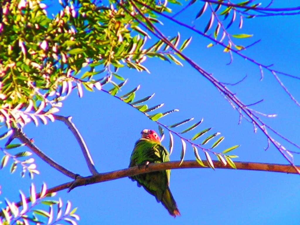 Parrots of Telegraph Hill San Francisco 2