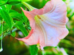 Pink Angel Trumpet on Telegraph Hill San Francisco 1