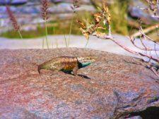Bearded Dragon Lizard at Agua Caliente Palm Springs 1