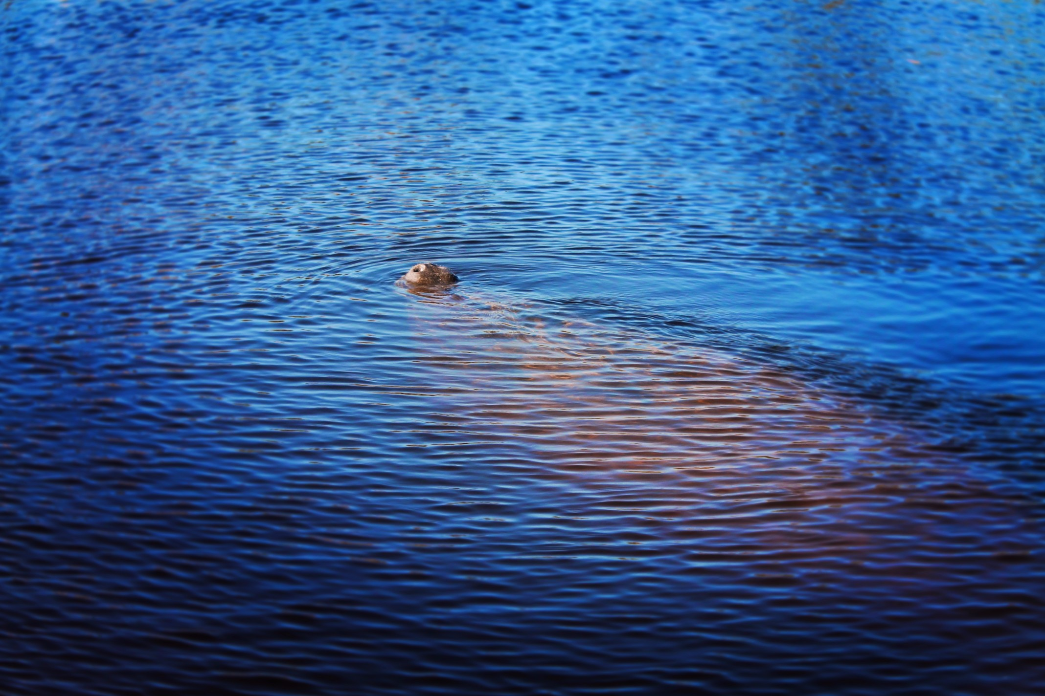 Manatee Surfacing on Airboat Everglades City Florida 1