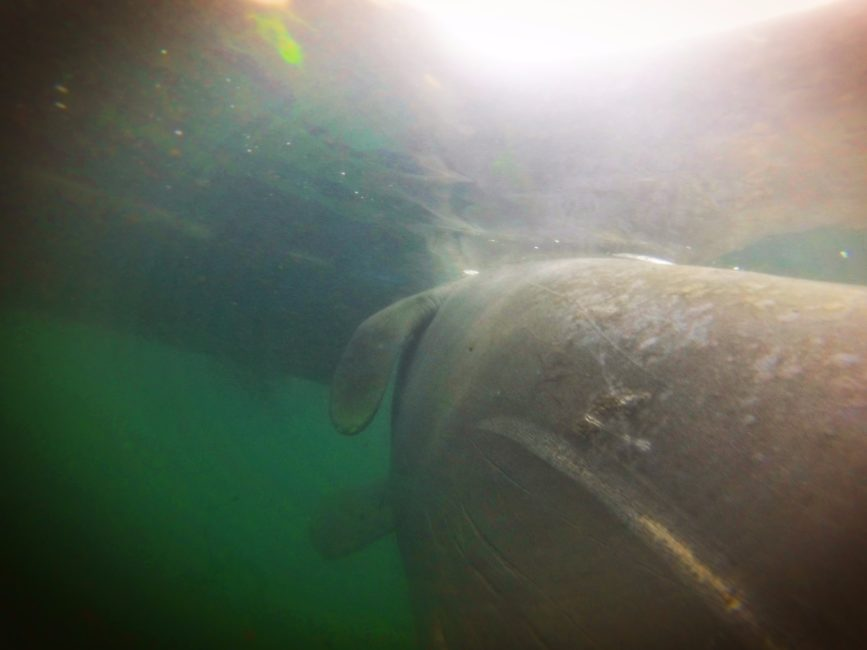 Manatee Swimming in Crystal River Florida 6
