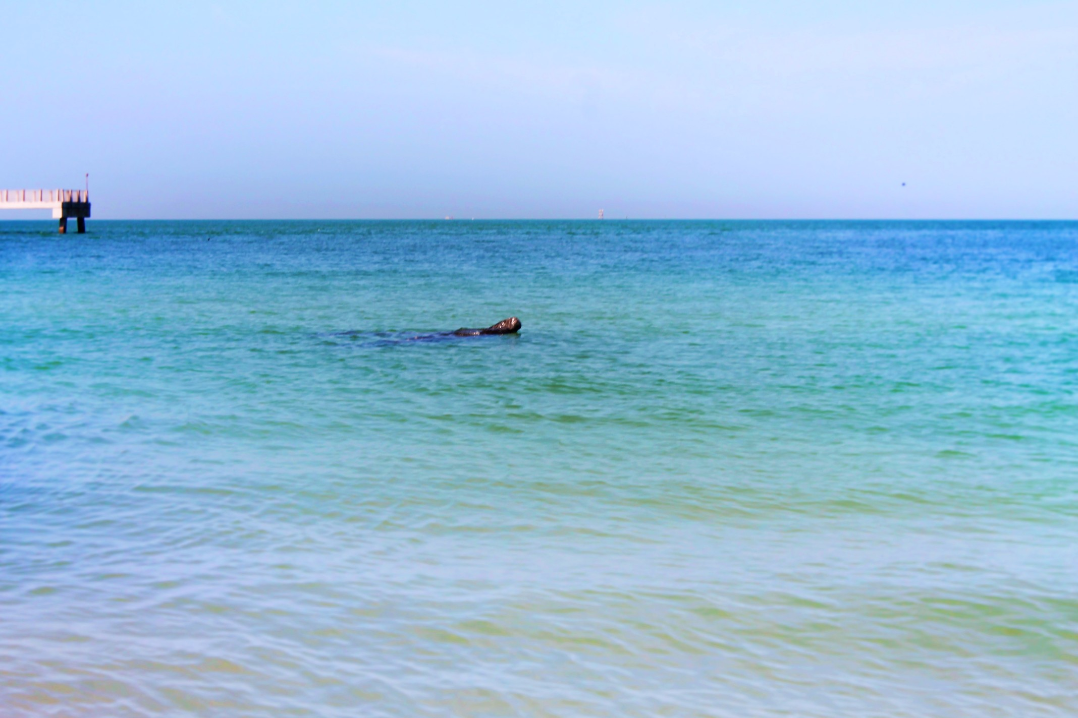 Manatee-from-Beach-at-Fort-De-Soto-County-Park-1.jpg