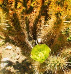 Pipe Organ Cactus flowers at Agua Caliente Palm Springs 1