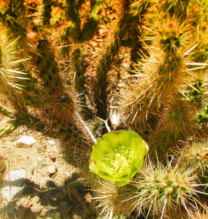 Pipe organ cactus flowers at agua caliente palm springs 1 2 travel pipe organ cactus flowers at agua caliente palm springs 1 mightylinksfo
