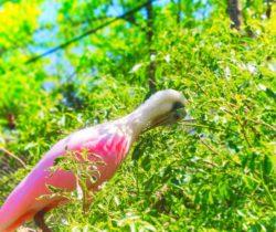 Spoonbill at Homosassa Springs State Park Florida 1