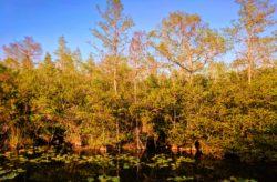 Still water in Big Cypress National Preserve 1 (1)