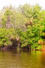 Alligator-and-cypress-trees-at-De-Leon-Springs-State-Park-Daytona-Beach-2-150x225.jpg