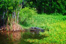 Alligator-and-lilypads-at-De-Leon-Springs-State-Park-Daytona-Beach-1-225x150.jpg