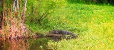 Alligator and lilypads at De Leon Springs State Park Daytona Beach 2