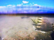 Crown-Conch-underwater-at-GTM-Reserve-St-Augustine-1-225x169.jpg