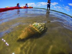 Crown Conch underwater at GTM Reserve St Augustine 2