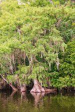Cypress-Trees-and-marsh-on-Ecotour-at-De-Leon-Springs-State-Park-Daytona-Beach-4-150x225.jpg