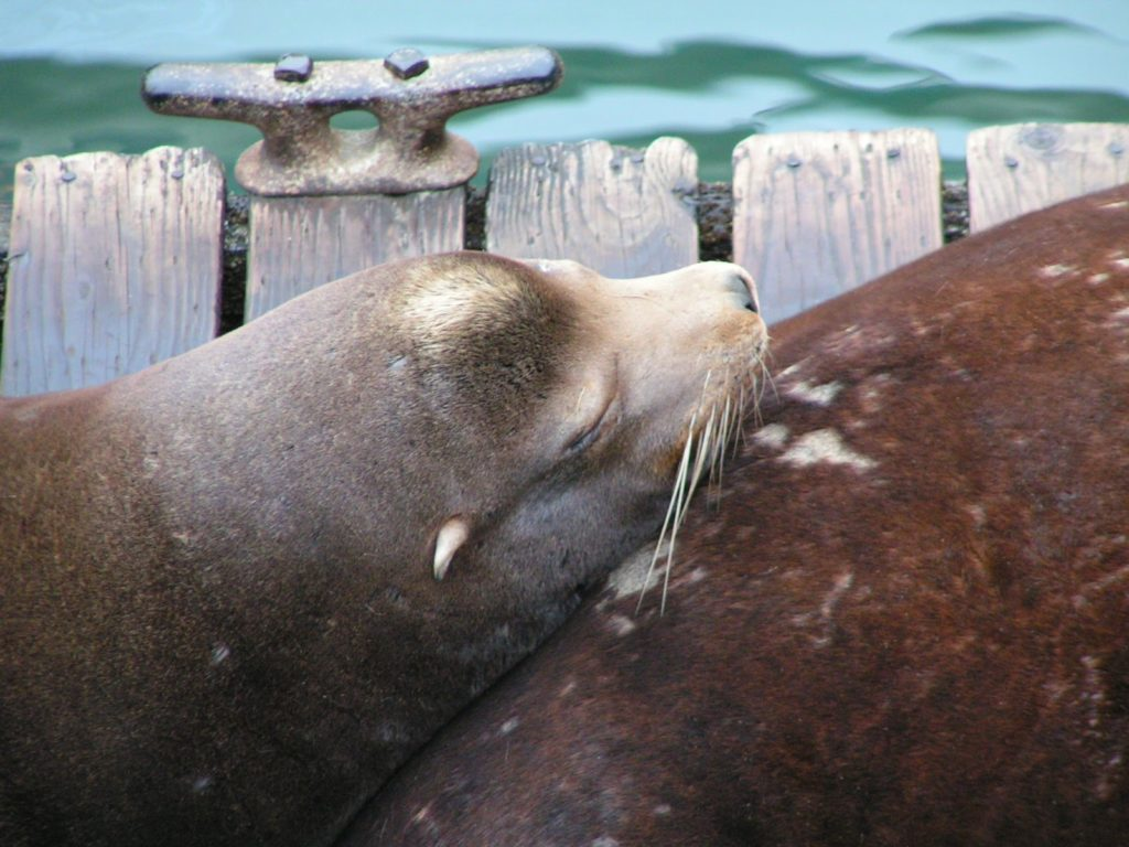 Sea Lions on dock in Newport Oregon 1