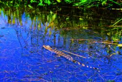 Baby alligator in Mobile River Delta from Airboat Mobile Alabama 6