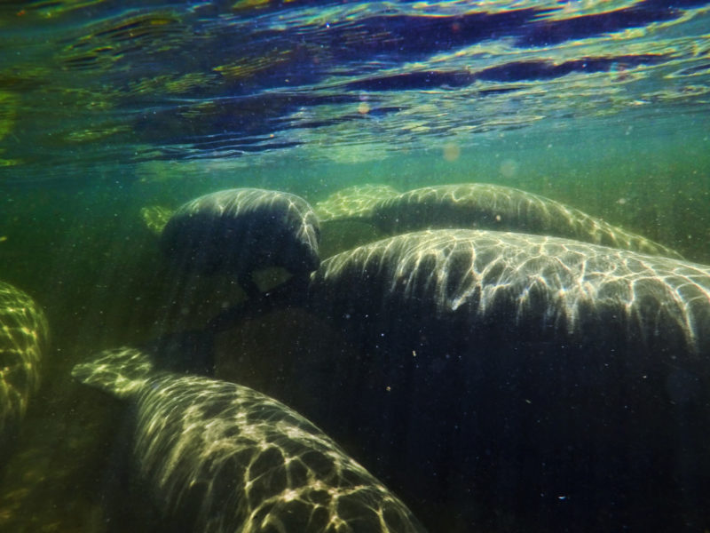 Family of manatees underwater at Blue Spring State Park Florida 1