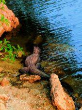 Resting-Alligator-in-Big-Cypress-National-Preserve-2-169x225.jpg