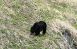 Black Bear on Hillside Olympic National Park