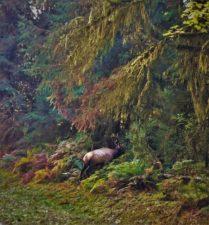 Bull-Elk-Hoh-Rainforest-Olympic-National-Park-4-209x225.jpg