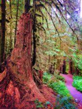 Cedar nursery log in Rainforest Sol Duc Olympic National Park 2
