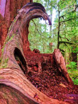 Cedar nursery log in Rainforest Sol Duc Olympic National Park 3