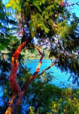 Madrona Trees at Lake Crescent Olympic National Park 3