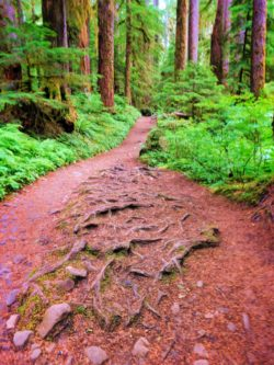 Rooty Trail in Rainforest Sol Duc Olympic National Park 1