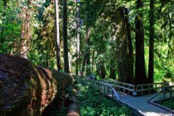 Boardwalk trail in Grove of the Patriarchs Mt Rainier National Park 1