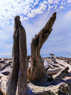 Driftwood on beach at Kalaloch campground Olympic National Park 3
