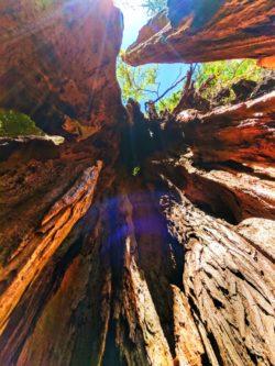 Inside the Big Cedar tree at Kalaloch Olympic National Park 3