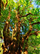 Mossy ferns and branches in Quinault Rainforest Olympic National Park 4