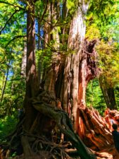 The Big Cedar tree at Kalaloch Olympic National Park 1