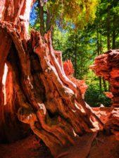 The Big Cedar tree at Kalaloch Olympic National Park 3