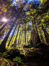Towering trees in Grove of the Patriarchs Mt Rainier National Park 2