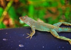 Colorful lizard in Rainforest El Yunque National Forest Puerto Rico 1