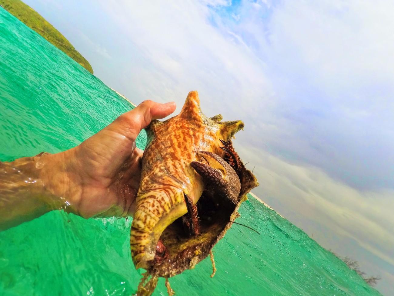 Giant Hermit Crab on Isla Palominito El Conquistador Puerto Rico 1
