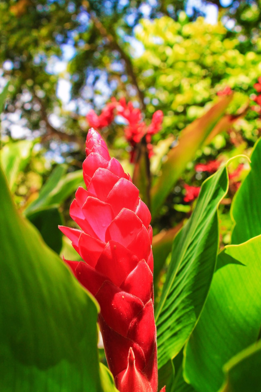Ginger flowers in Rainforest El Yunque National Forest Puerto Rico 1