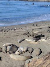Elephant seal colony San Simeon Cambria 3