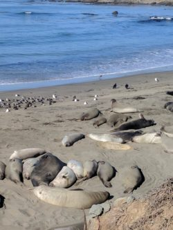 Elephant seal colony San Simeon Cambria 3