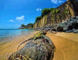 Iguana on rocks at Paseo del Morro San Juan National Historic Site Puerto Rico 4