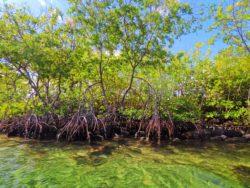 Mangroves on Laguna Condado San Juan Puerto Rico 1