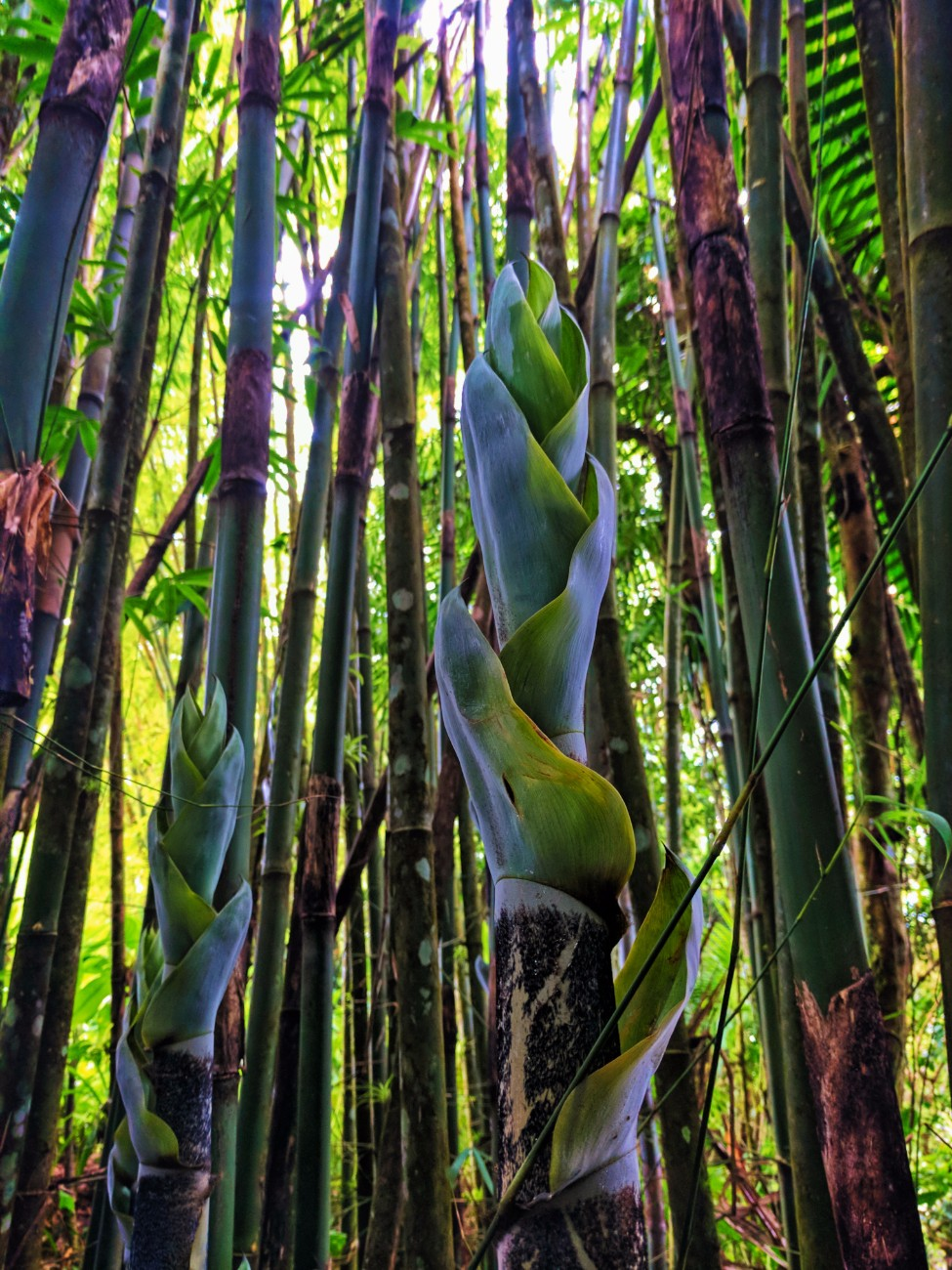 Rainforest Bamboo stand in El Yunque National Forest Puerto Rico 3