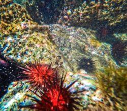 Red Sea Urchins in Laguna Condado San Juan Puerto Rico 1