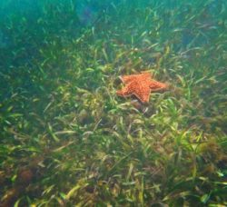 Sea star on eel grass in Laguna Condado San Juan Puerto Rico 1