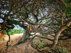 Ancient live oak at Cerro San Luis Obispo 1