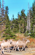 Bighorn Sheep Herd at Two Medicine Lake Glacier National Park 3